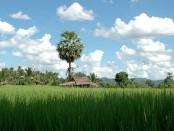 Thailand rice field